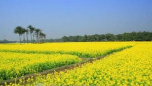 Jhitka Mustard Field