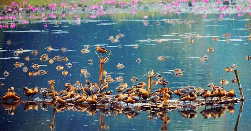 Migratory Birds Of Jahangirnagar University