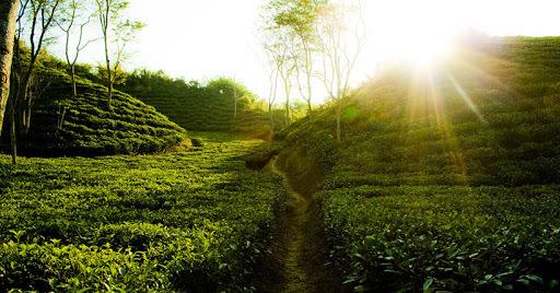 Kodala Tea Garden