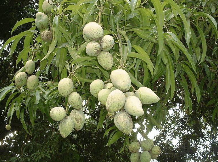 Harivanga Mango