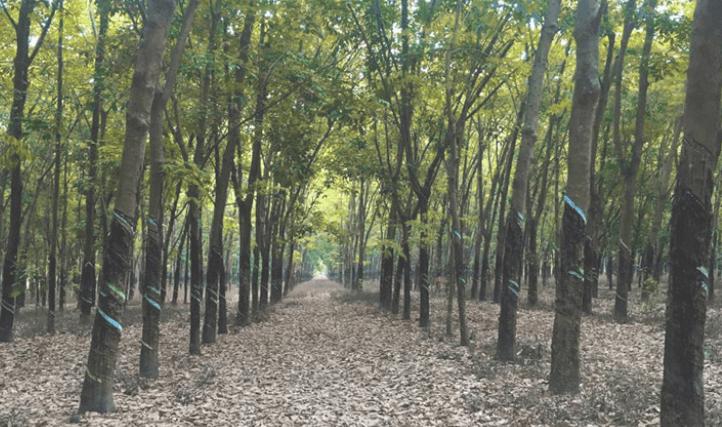 Pirgachha Rubber Garden
